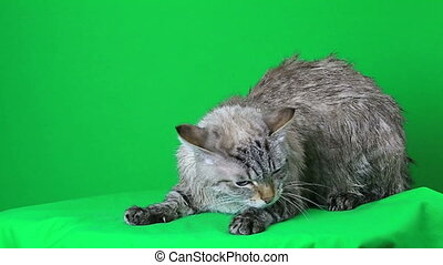 Wet cat lies and freezing - Wet cat lies and freezing on a...