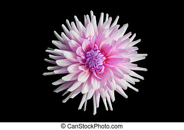 beautiful pink dahlia flower isolated