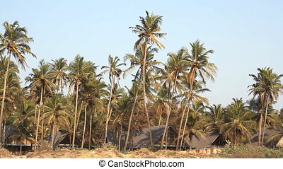 coconut palm trees near the coastline