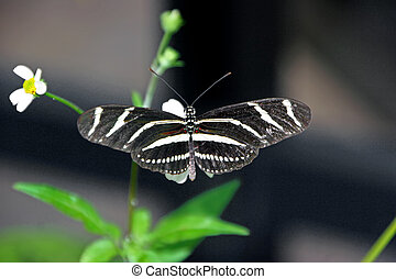 beautiful zebra longwing butterfly on plant Sanibel Florida