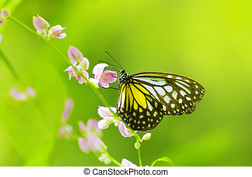 Butterfly - Parantica aspasia Yellow Glassy Tiger feeding on...