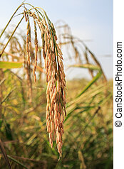 Rice in the field with morning sunlight