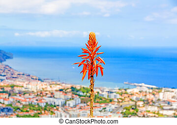 Funchal, Madeira - Typical madeiran flower - South coast of...