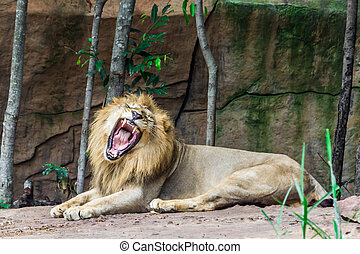 Big angry lion lying on the rock, Nature