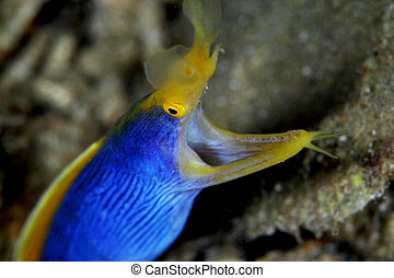 blue ribbon eel - Rhinomuraena quaesita, blue ribbon eel is...