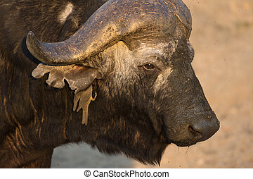 Cape buffalo at a water hole in Sabi Sands Game Reserve in...