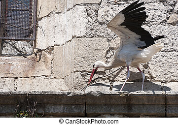 White stork, Ciconia ciconia - Adult of White stork, Ciconia...