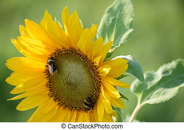 Bumblebee Sunflower Selective Focus - Bumblebees on an...