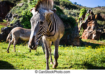 The Grevy s zebra Equus grevyi, sometimes known as the...