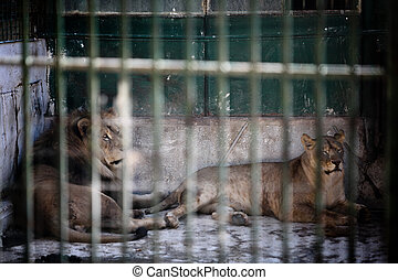 Two lions are pictured in an enclosure at the Zoo