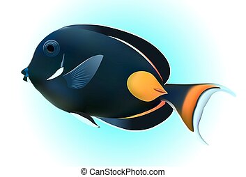 Achilles Tang or Surgeon Fish