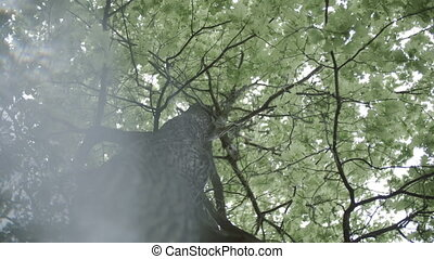 4k Crohn's oak tree with leak bottom view rotation