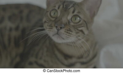 Bengal cat resting on white bed sheets and looking on camera...