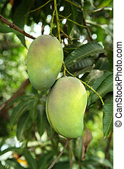 Mangoes on tree - green mangoes hanging on a tree