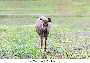 Yuong wild deer in forest, female