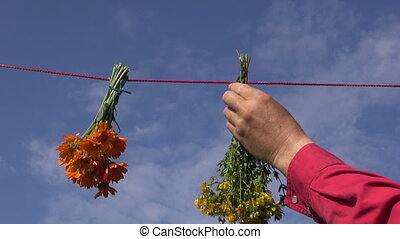 hanging bunches medical herbs - Hand hanging calendula, St....