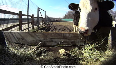 Closeup of feeding cows that are sticking their tongue out -...