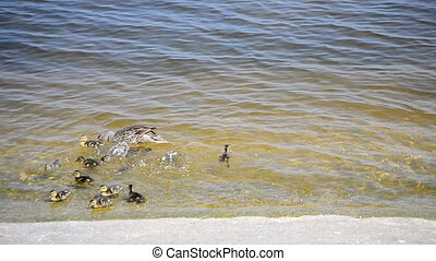 Duck with flock of ducklings swim near the shore
