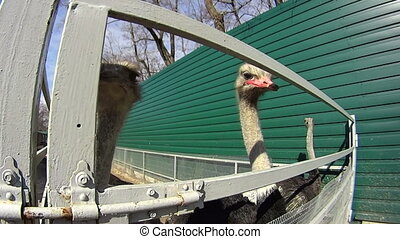 Ostrich trying to bite the camera - Hungry ostrich trying to...
