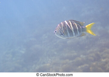 Abudefduf notatus is a species of damselfish in the family...