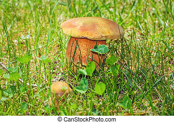 Mushroom in the Grass - Mossiness Mushroom in the Green...