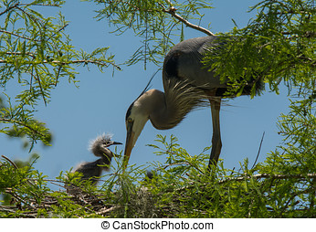 Great Blue Heron Feeding Young