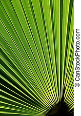 Fan shaped Palm leaf - Close up of a fan shaped Palm leaf