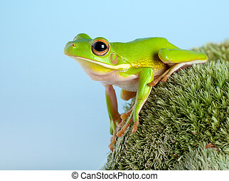 Tree frog in the garden