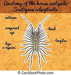 insetto, anatomy., adesivo, Scutigera, ,