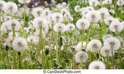Slow Flight of Dandelion Seeds - Dandelion seeds floating on...