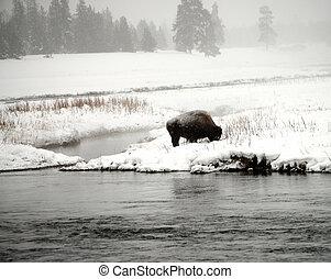 Yellowstone, amerykanka, bizon,