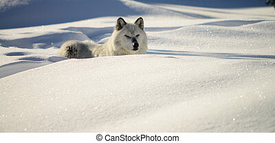 Gray Wolf canus lupis resting in a snow bank