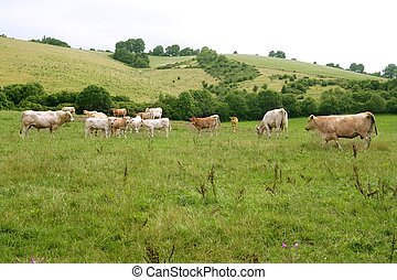 Beige cows cattle eating in green meadow - Beige cows cattle...