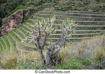Terraced fields in the Inca archeological area of Pisac,...