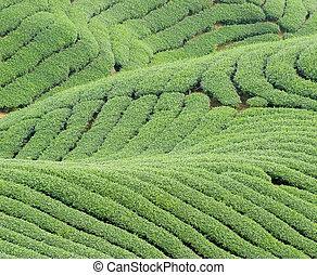 Complex landform and tea trees - Complex landform full of...