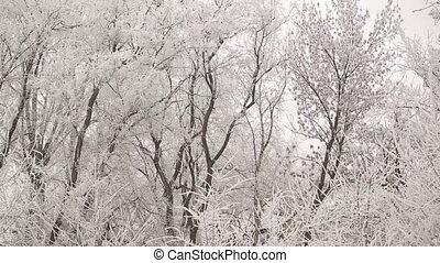 Hoarfrost on a Trees - white forest covered with frost