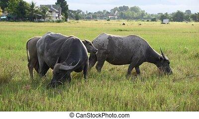 Water Buffalo - Water Buffalo graze in pastures