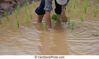 Farmer rice seedling. - Farmer rice seedling transplanting...