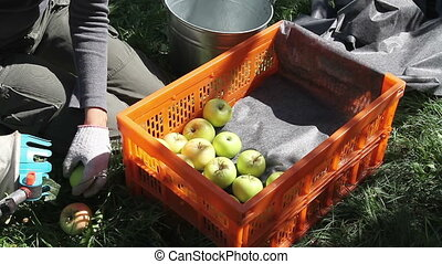 Careful Harvesting of Apples - The worker puts carefully...