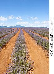 Tasmania Australia purple lavender plants - Landscape...