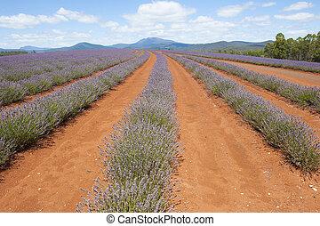 Lavender Meadow Tasmania Australia - Long Field of purple...