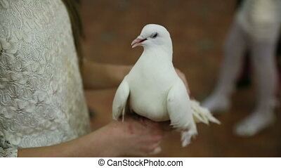 Hand Stroked White Dove - pigeon sitting on the arm and hand...