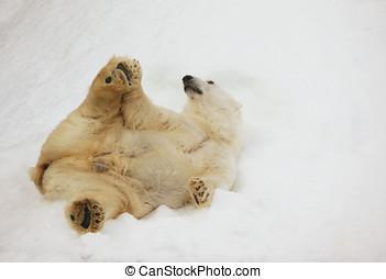 Polar bear on the snow