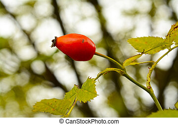 Wild rose hip fruit