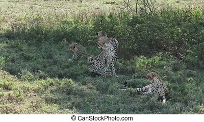 Cheetahs together in shade - Cheetahs (Acinonyx jubatus)...
