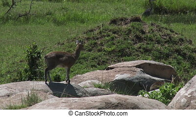 Klipspringer couple on rocks - Klipspringer Oreotragus...