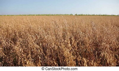 Field of Ripening Oats