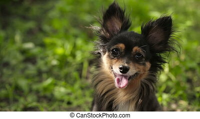 Moscow Toy Terrier Looking at the Camera - smart dog with...