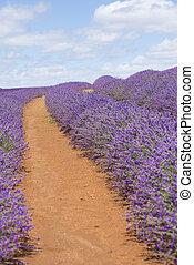 Purple lavender field red soil Australia - Meadows of purple...