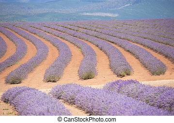 Lavender Field Tasmania Australia - Wide Field of purple...